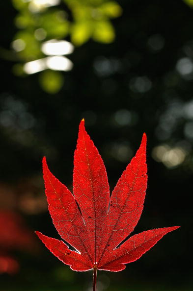 Japanese Maple「Climate Change Slows The Onset Of Autumn」:写真・画像(18)[壁紙.com]