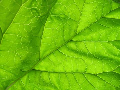 Frond「Backlit rhubarb leaf - Rheum rhabarbarum」:スマホ壁紙(17)