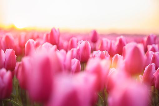 チューリップ「日没 (オランダ) の間にピンクのチューリップの牧歌的なフィールド」:スマホ壁紙(13)