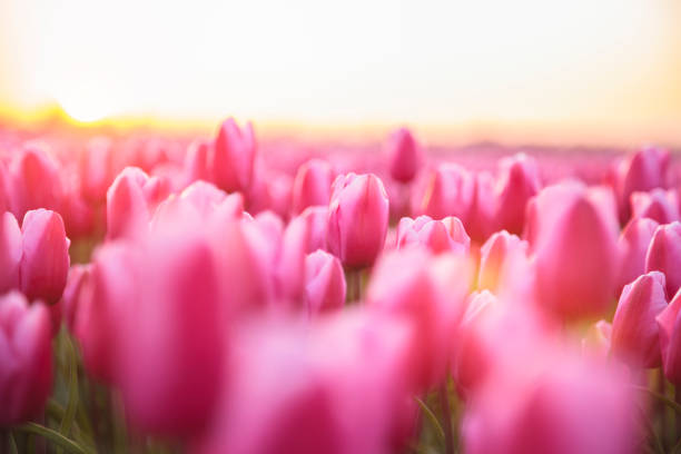 Idyllic field of pink tulips during sunset (Netherlands):スマホ壁紙(壁紙.com)
