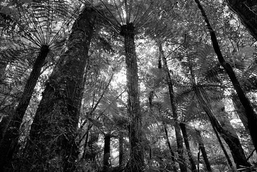 New Zealand Culture「Punga Canopy, New Zealand」:スマホ壁紙(1)