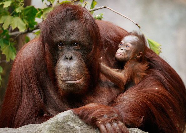動物「Rare Bornean Orangutan Born At Chicago's Brookfield Zoo」:写真・画像(13)[壁紙.com]