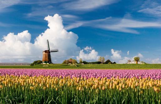 チューリップ「春の風景」:スマホ壁紙(9)