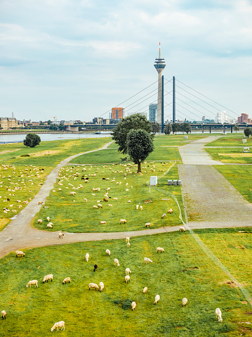 Eating「Germany, Duesseldorf, view to flock of sheep grazing on Rheinwiesen and skyling in the background」:スマホ壁紙(18)