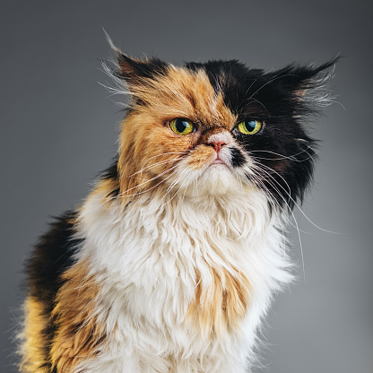 Animal Ear「Square Portrait of a Persian Cat Looking at Camera.」:スマホ壁紙(17)
