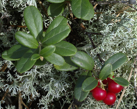 Finland「Lingonberry forest Finland」:スマホ壁紙(14)
