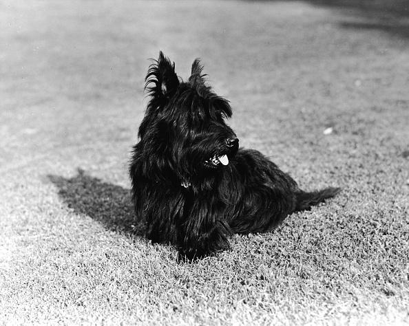 Grass Family「The Roosevelts' Scottish Terrier 'Fala'」:写真・画像(18)[壁紙.com]