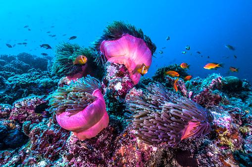 Clownfish「The underwater world of Maldives.」:スマホ壁紙(7)