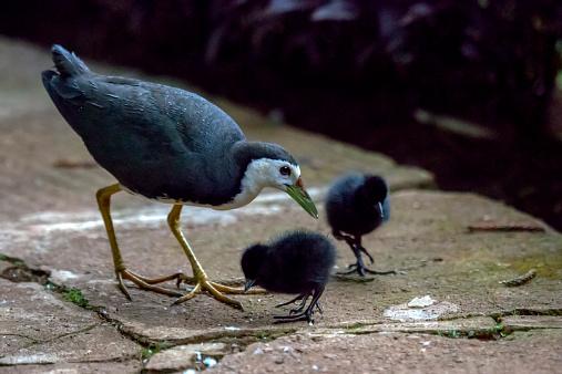 Hen「White-breasted Water hen (Amaurornis phoenicurus)」:スマホ壁紙(5)