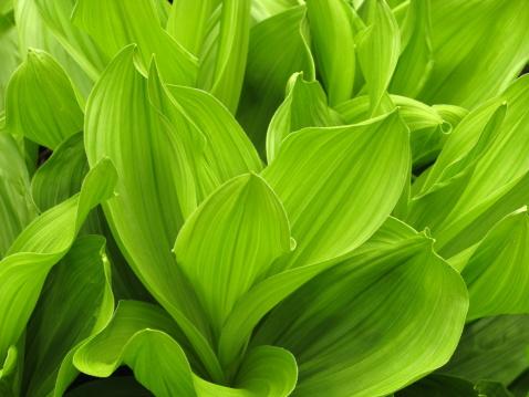 Frond「Green False Hellebore Spring Close Up」:スマホ壁紙(17)