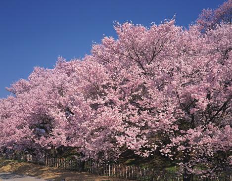 Cherry Blossom「Kohigan-sakura」:スマホ壁紙(16)