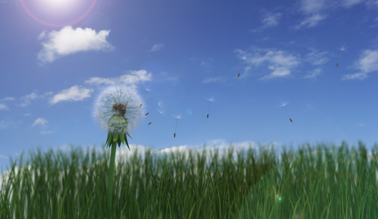 たんぽぽ「Dried dandelion with seeds blowing」:スマホ壁紙(12)
