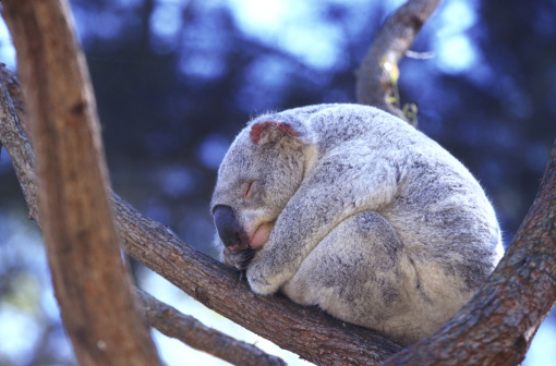 Koala「koala phascolarctos cinereus asleep australia」:スマホ壁紙(1)