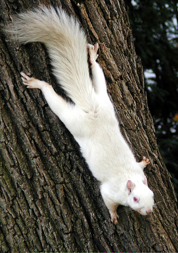 Gray Squirrel「Albino squirrel」:スマホ壁紙(15)