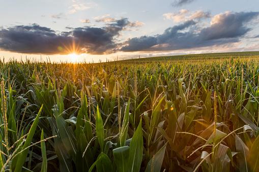 Iowa「Sunsets over the cornfields」:スマホ壁紙(14)