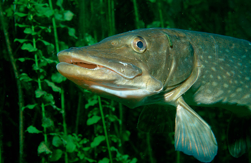 Pike - Fish「Pike head (Esox lucius).」:スマホ壁紙(6)