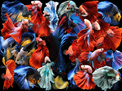 Siamese Fighting Fish「Collage of multi coloured betta fish, Indonesia」:スマホ壁紙(10)