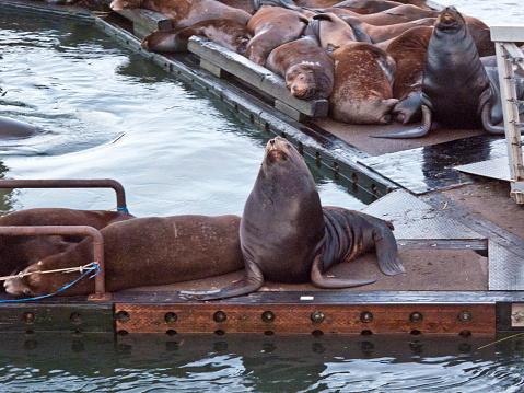 Sea Lion「Sea Lions taking over a marina boat dock in the Port of Astoria,Oregon」:スマホ壁紙(18)