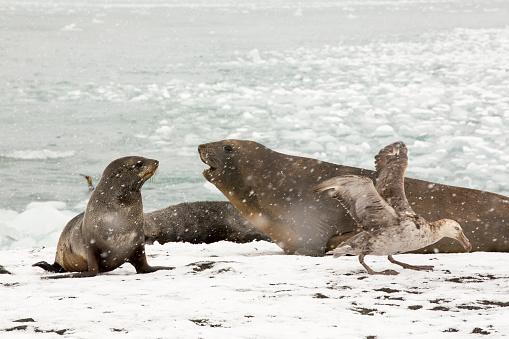 Pack Ice「Large bull Southern Elephant Seal; Mirounga leonina, at Gold Harbour, South Georgia,」:スマホ壁紙(5)