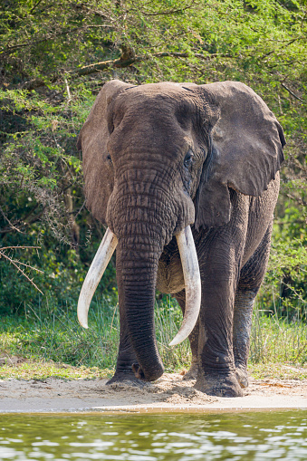 Queen Elizabeth National Park「Large bull elephant」:スマホ壁紙(13)