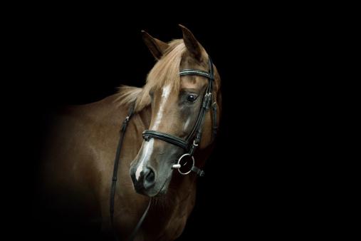 chestnut「Arabian Horse Portrait」:スマホ壁紙(15)