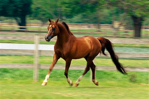 chestnut「Arabian Horse Trotting in Paddock」:スマホ壁紙(5)