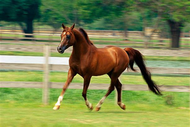 Arabian Horse Trotting in Paddock:スマホ壁紙(壁紙.com)