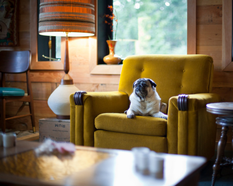 British Columbia「A dog lays on a vintage sofa chair」:スマホ壁紙(4)