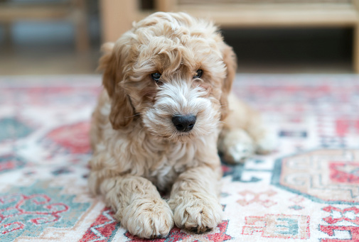 Three Quarter Length「A dog lays on a colourful rug at home」:スマホ壁紙(8)