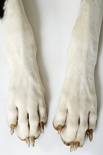 Harlequin「Harlequin Great Dane. Close up of front paws. Studio shot against white background. Owned by Liza Fenton. South Africa.」:スマホ壁紙(5)