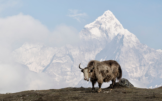 Himalayas「Yak, Sagarmatha National Park, Everest Base Camp trek, Nepal」:スマホ壁紙(5)