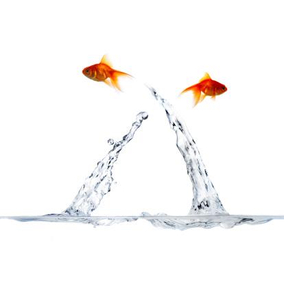 Carp「Goldfish going their separate ways」:スマホ壁紙(7)
