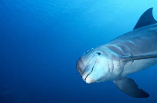 Central America「Bottle-nosed dolphin (Tursiops trancatus) Roatan, Honduras」:スマホ壁紙(2)