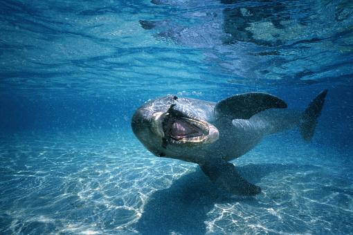 Shallow「Bottle-nosed dolphin (Tursiops truncatus),Honduras,underwater view」:スマホ壁紙(7)