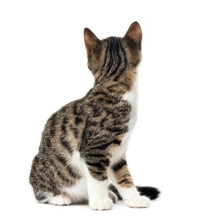 子猫「kitten domestic cat looking backwards, 3 months old , isolated on white」:スマホ壁紙(0)