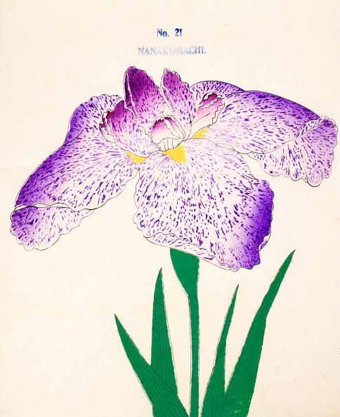 Perennial「Nanakomachi」:写真・画像(15)[壁紙.com]