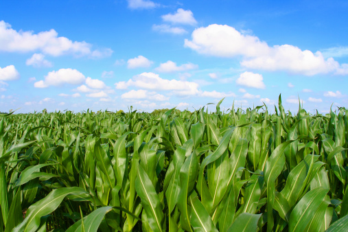 Agricultural Field「Panoramic view of a corn field with crops」:スマホ壁紙(14)