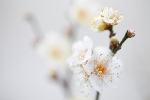 梅の花「Plum tree in bloom」:スマホ壁紙(0)