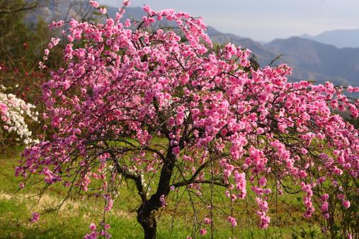 梅の花「Plum tree in spring, Tokyo Prefecture, Honshu, Japan」:スマホ壁紙(19)