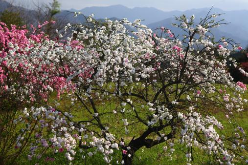 梅の花「Plum tree in spring, Tokyo Prefecture, Honshu, Japan」:スマホ壁紙(15)