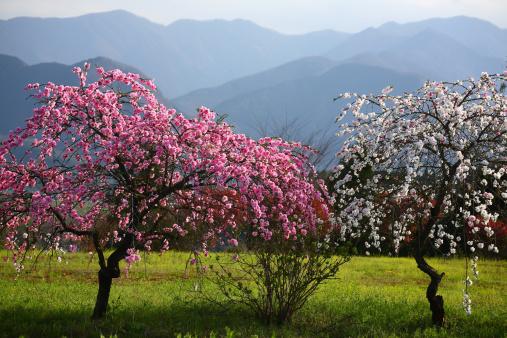 梅の花「Plum tree in spring, Tokyo Prefecture, Honshu, Japan」:スマホ壁紙(16)