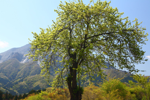 梅の花「Plum tree in spring, Saitama Prefecture, Honshu, Japan」:スマホ壁紙(17)