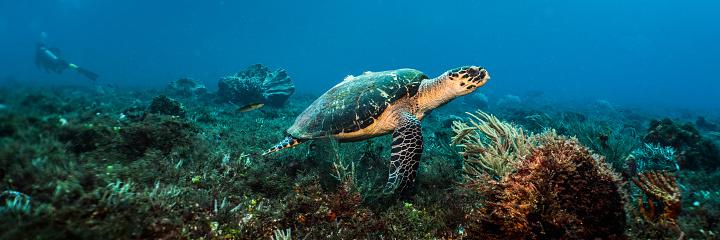 Soft Coral「Swimming Hawksbill Sea Turtle」:スマホ壁紙(12)