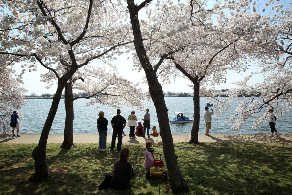 桜「Cherry Trees In Bloom In Washington DC」:写真・画像(6)[壁紙.com]