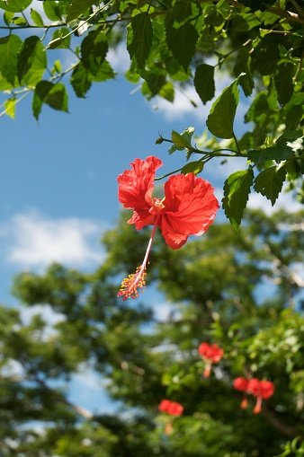 flower「Hibiscus, Fiji」:スマホ壁紙(14)