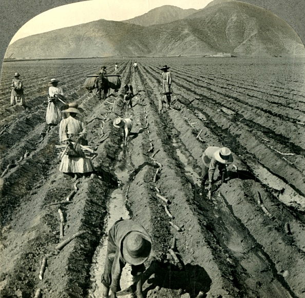 Sugar Cane「Planting The Sugar Cane In A Large Hacienda Near Lima」:写真・画像(14)[壁紙.com]