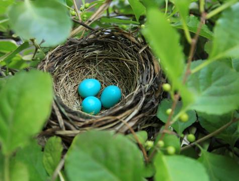 Animal Egg「Three robin's eggs in a nest」:スマホ壁紙(12)