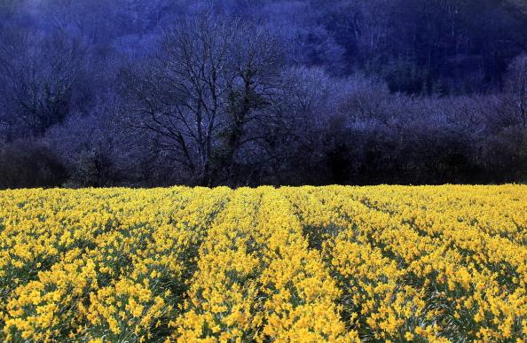 花畑「Daffodils Are Harvested In Cornwall」:写真・画像(12)[壁紙.com]