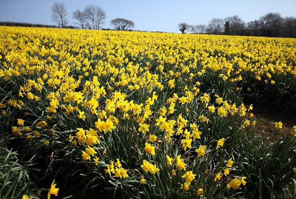 スイセン「Daffodils Are Harvested In Cornwall」:写真・画像(3)[壁紙.com]