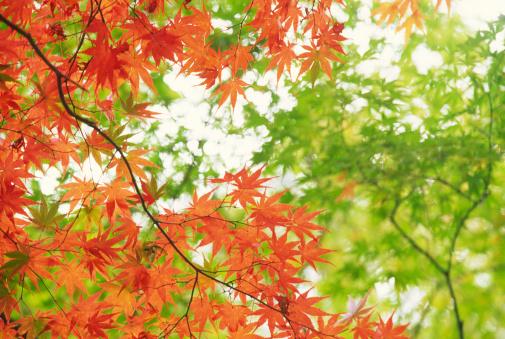 Japanese Maple「Autumnal orange leaves」:スマホ壁紙(0)